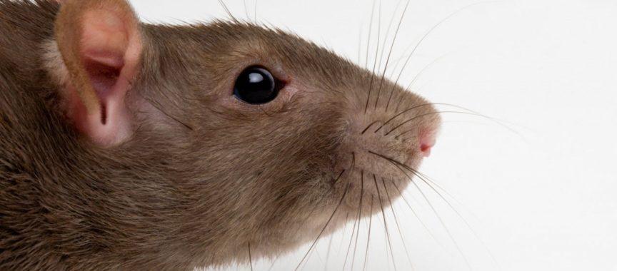 Patkányészlelés
